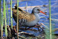 Mokoz_Water_rail_09.jpg