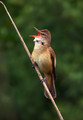 Rakar_Great_reed_warbler_05.jpg