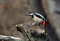 Veliki_detel_Great_spotted_woodpecker_07.jpg