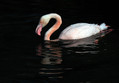Veliki_plamenec_Greater_flamingo_08.jpg