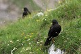Planinska_kavka_Alpine_chough_Pyrrhocorax_graculus_06.jpg