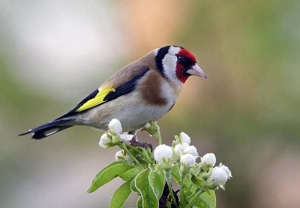 Sve vrste Ptica - Page 2 Liscek