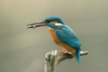 Vodomec_Kingfisher_67.jpg