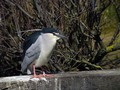 Kvakac_Night_heron_03.jpg