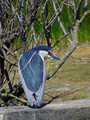 Kvakac_Night_heron_05.jpg