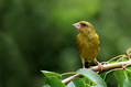 Zelenec_Greenfinch_18.jpg